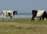 Friese waddenkust met begrazing